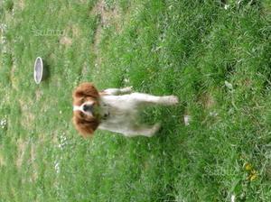 Regalo cane maschio di razza breton spaniel