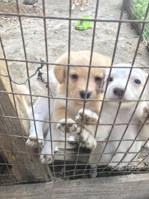 Regalo cuccioli di chiwawa