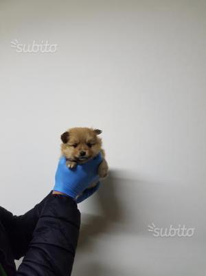Spitz toy cuccioli italiani puffissimi posot class - Spitz toy prezzo ...