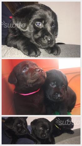 Splendidi Labrador con pedigree