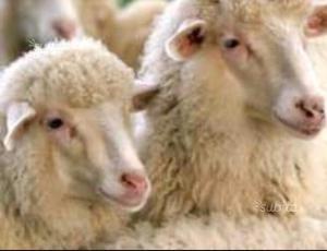 Sverminante per capre e pecore