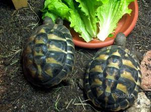 Tartarughe terrestri caserta posot class for Tartaruga di terra maschio o femmina