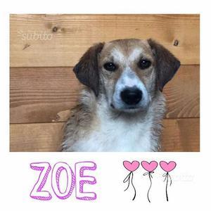 Zoe cucciola taglia piccola