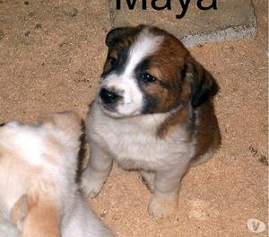 Maya, splendida cucciola di quasi 2 mesi da adottare