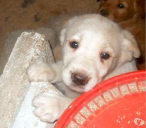 Mary, splendida simil labrador di quasi 2 mesi da adottare