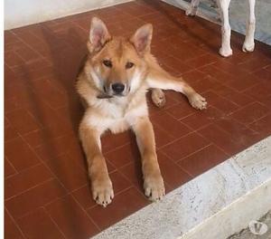 Miele, cane cucciolo 5 mesi, taglia medio-grande.