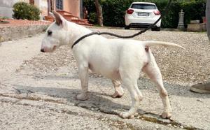 Bull terrier cucciola 5 mesi pedigree