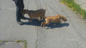 Cani da cinghiale