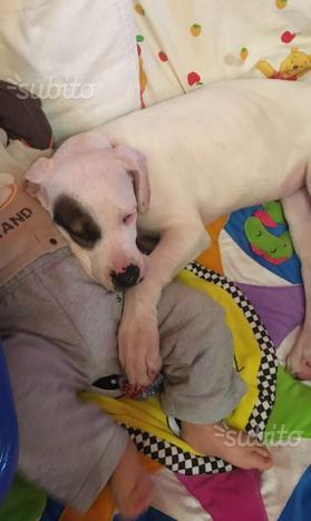 Cucciola Dogo Argentino subito disponibile