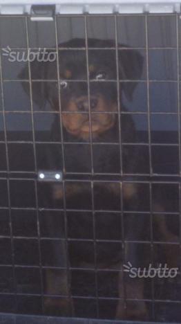 Cucciola di rottweiler con pedigree