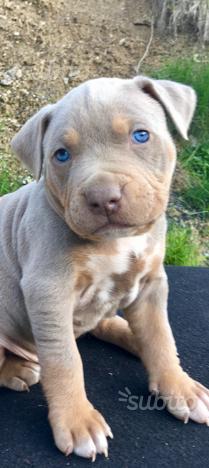 Cuccioli di Pitbull RedNose UKC