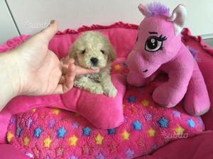 Cucciolo barboncino toy femmina
