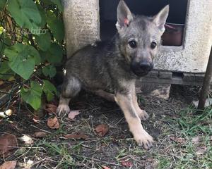 Cucciolo di Cane Lupo Cecoslovacco