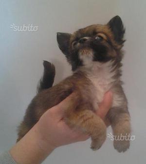 Cucciolo di chihuahua mini toy