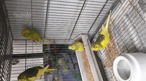 Uccelli pappagallo con gabbia ottonata 50