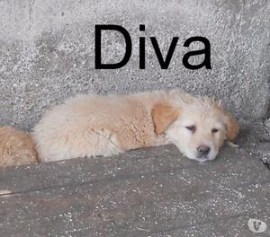 Diva, splendida cucciola di 2 mesi, simil golden retriever