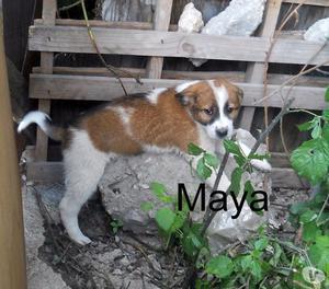 Maya, splendida cucciola di 2 mesi da adottare