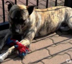 Splendido cane di 15 mesi in cerca di casa