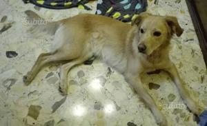 ADOZIONE stupenda e dolce cucciola 2 anni, 21 kg