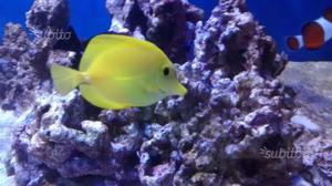 pesce marino zebrasoma xanthurum posot class