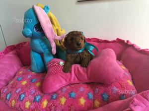 Barboncino toy cucciolo maschio e femmina red