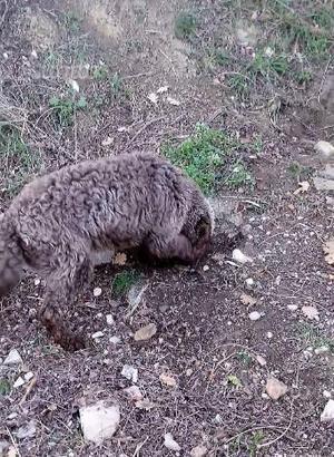 Cani da tartufo