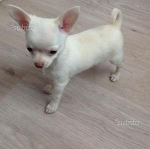 Chihuahua Toy Maschi e Femmine
