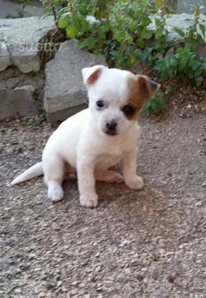 Chihuahua mini mini toy
