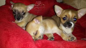 Chihuahua toy a pelo corto