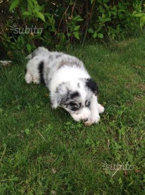 Cucciola 2 mesi razza Border Collie - blue merle