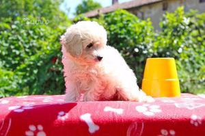 Cucciola di Barboncino color Crema