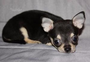 Cucciola di Chihuahua