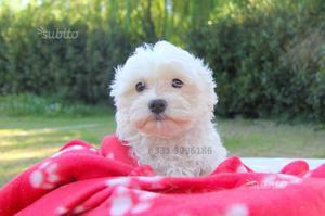 Cucciola di Maltese con Pedigree