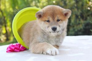 Cucciola di Shiba Inu