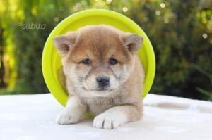 Cucciola di Shiba Inu Rossa
