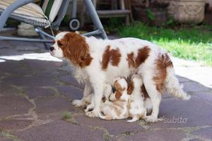 Cuccioli di cavalier king charles spaniel ITALIANI