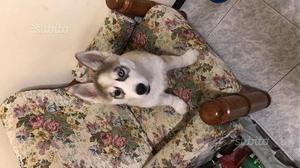 Cucciolo dì husky 4 mesi