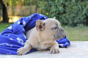 Cucciolo di Bouledogue Francese BLU e bianco