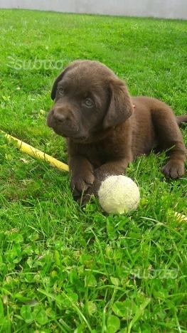 Labrador cioccolato femmine pedigree enci