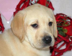 Labrador maschio spettacolo