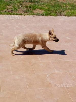 Lupo cecoslovacco cucciola