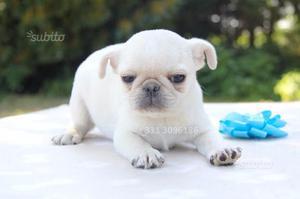 Rarissimo cucciolo di Carlino Bianco