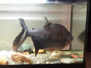 Acquario grande 350l pesce gatto coda rosa e acce posot for Pesce gatto acquario