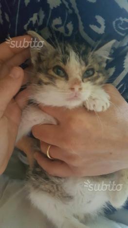 Attila gattino di due mesi