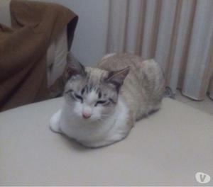 Gattina simil siamesina in adozione