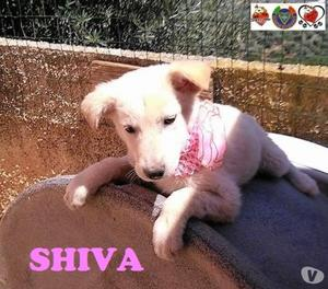 Shiva, futura taglia media
