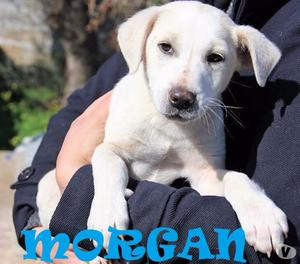 MORGAN, cucciolo simil labrador in adozione