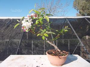 Bonsai melo da fiore posot class for Glicine bonsai prezzo