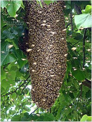 Sciami d'api