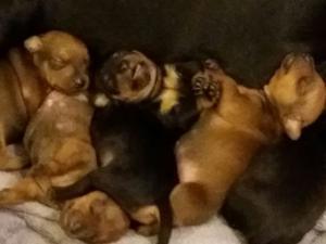 Disponiamo di cuccioli di Pincher